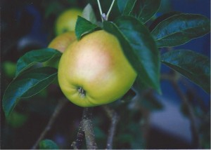 An apple from my dad's photo collection.