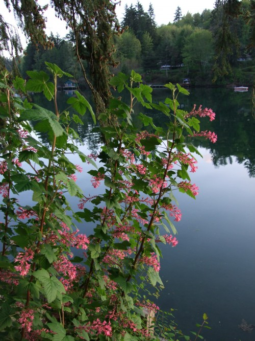 My Favorite Native Plant, Red-Flowering Currant, Ribes snaguineum.