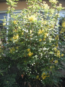 Our native Tall Oregon Grape makes a great barrier.