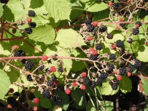 Himalayan Blackberry, Rubus armeniacus, was introduced for its delicious berries.