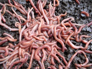 My worms huddling together on a cold winter day.