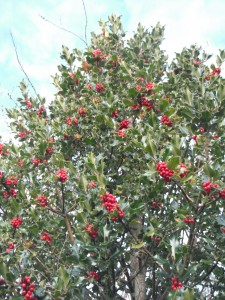 "English Holly, Ilex aquifolium, can sometimes be found in ""pristine"" wilderness."