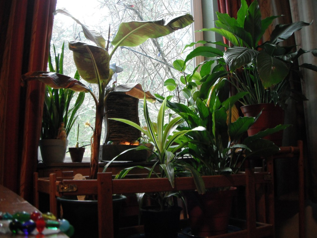 Houseplants, left to right: Snake Plant, Banana Plant, Corn Plant (Draceana), 2 Peace Lilies and a Peperomia in back next to the window on the right.