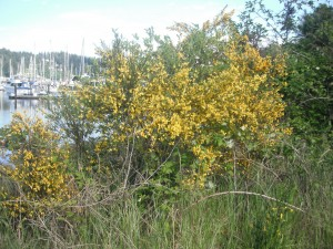 Scotch Broom was originally introduced as an ornamental and for erosion control.