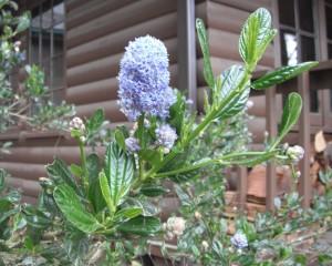 Wild Lilac or Blueblossom, Ceanothus thysiflorus