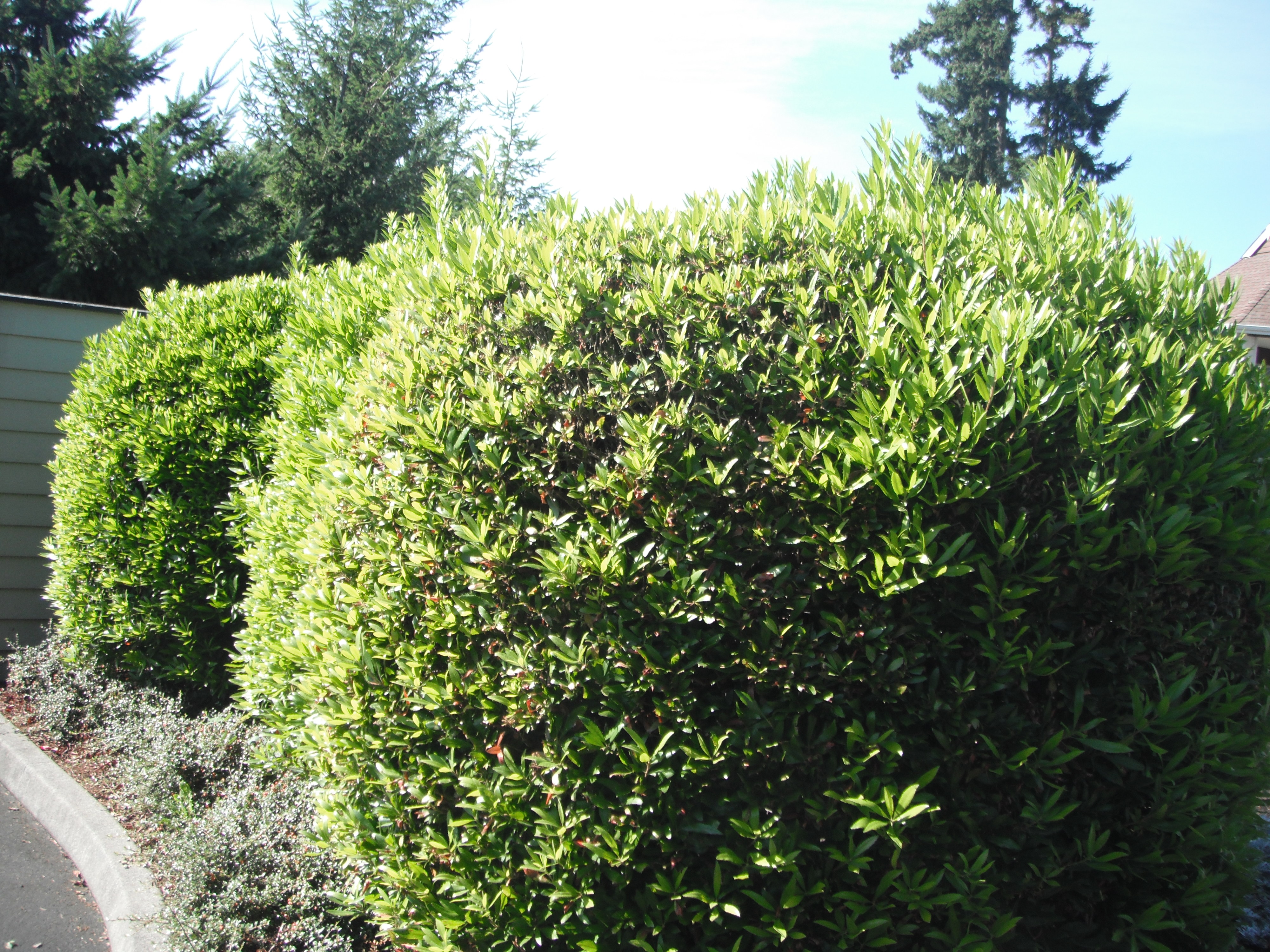 Hedge Bushes: Plants As Screens, Hedges And Hedgerows