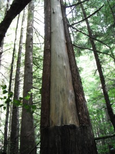 "A ""Culturally-modified"" Cedar along the trail to Shi Shi Beach on the Makah Indian Reservation"