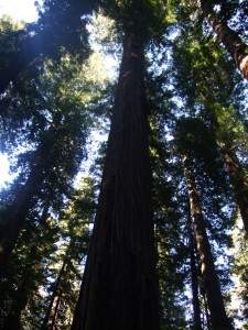 "Redwoods are the world's tallest trees. They live in the coastal ""fog belts."""