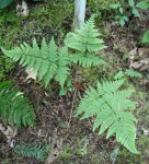 Spreading Wood Fern, Dryopteris expansa