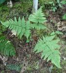 Spreading Wood Fern, Dryopteris expansa