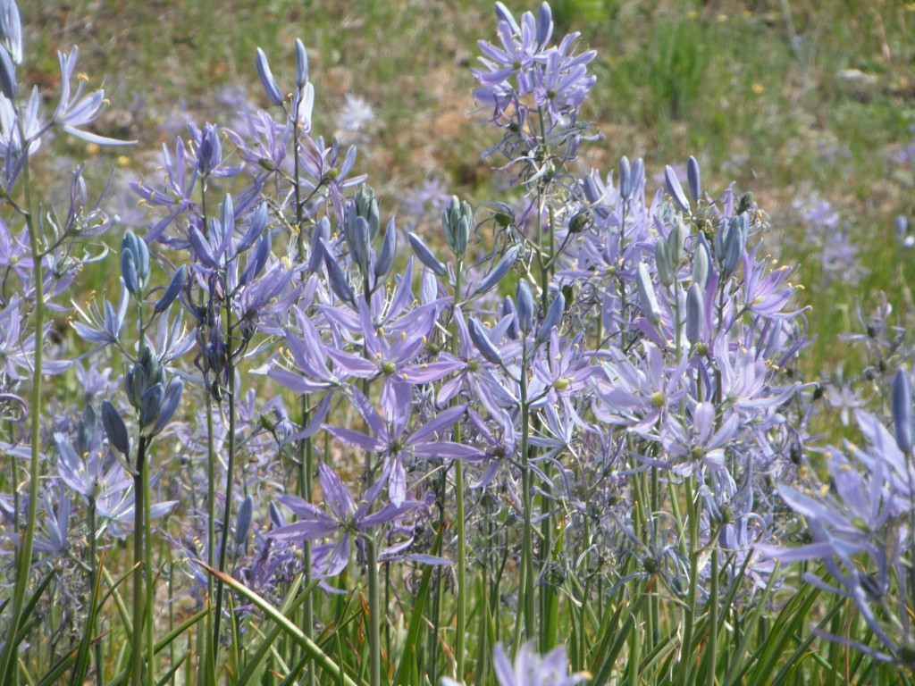 Common Camas, Camassia quamash, grows in wet prairies that dry out in the summer.