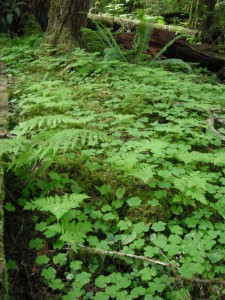 Rhizomes help plants spread like Redwood Sorrel, Oak Fern and False-lily-of-the-valley.