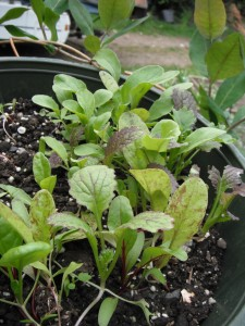 "I like to grow salad greens or ""Mesclun"" mixes in a pot. It is easy to snip a few leaves to add to a sandwich!"