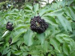 Blue Elderberry, Sambucus caerulea