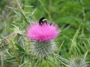 A bumblebee on a thistle flower.