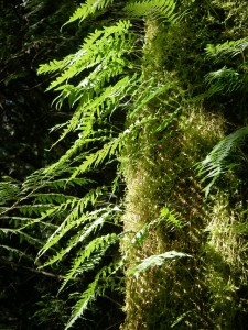 Western Maidenhair Fern, Adiantum aleuticum